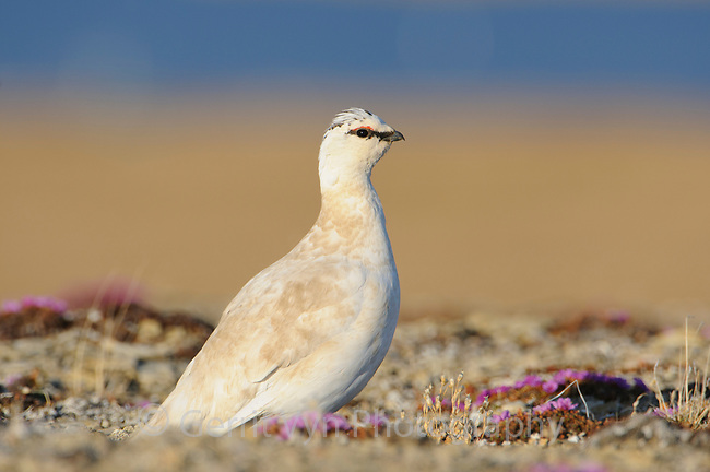 "Adult male Rock Ptarmigan (Lagopus muta) of the subspecies L. m. rupestris in courtship or ""supplemental"" plumage."
