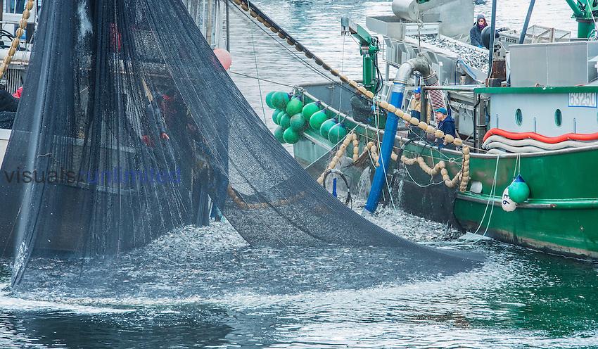 Fishing for Pacific Herring (Clupea pallasii), Sitka Sound, Alaska, USA.