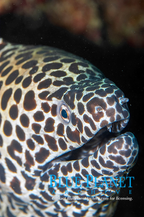 laced moray, leopard moray, tesselate moray, honeycomb moray, Gymnothorax favagineus, Pulau Perhentian, Malaysia, South China sea, Pacific Ocean