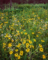 Field of Brown-Eyed Susans (Rudbeckia hirta) in the Johnson-Sauk Trail State Park; Henry County, IL