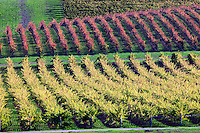 Rows of fall colored grapes. Vineyards of Napa Valley, California