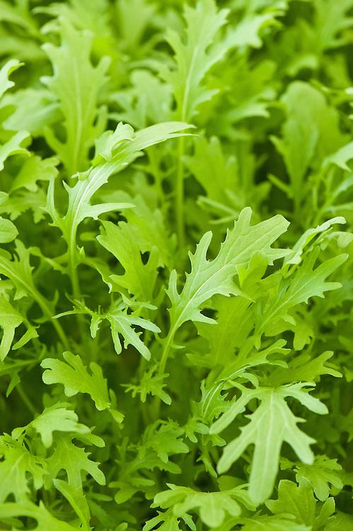 Mustard 'Green Frills' (Brassica juncea), an Oriental babyleaf salad.