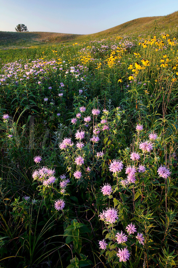 Wild bergamot and yellow coneflowers, Freda Haffner Kettlehole State Preserve (The Nature Conservancy), Dickinson County, Iowa