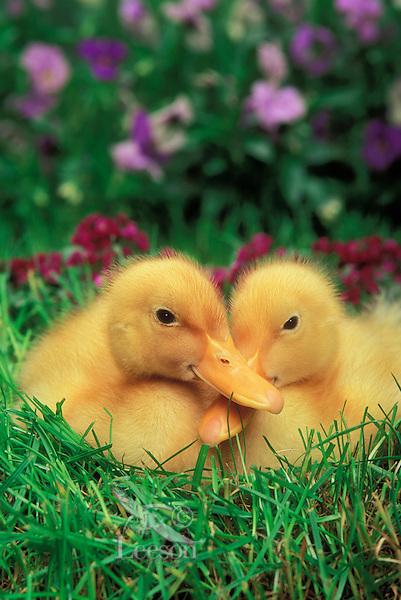 Farm Ducklings.