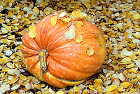 V00108.tif   Fall pumpkin. Monroe, Oregon