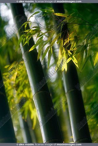 Artistic closeup of bamboo leaves and culms in fall nature scenery. Arashiyama, Kyoto, Japan. Image © MaximImages, License at https://www.maximimages.com