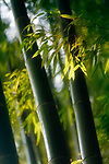 Artistic closeup of bamboo leaves and culms in fall nature scenery. Arashiyama, Kyoto, Japan.