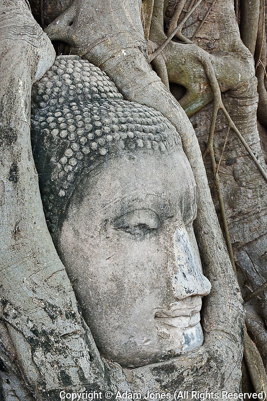Sandstone Buddha head surrounded by tree roots, Wat Yai Chaya Mongkol or The Great Temple of Auspicious Victory, Ayutthaya, Thailand