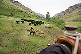 USA, Oregon, Joseph, Cowboy Cody Ross pushes cattle across Big Sheep Creek towards Steer Creek drainage in Northeast Oregon