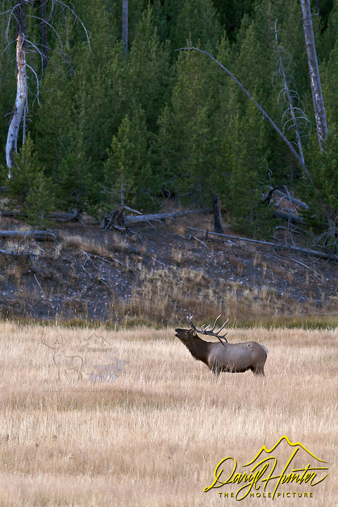 Bull Elk in meadow during rut