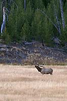 Bull Elk in meadow during rut