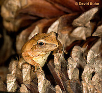 0302-0928  Spring Peeper Frog on Fallen Pine Cones, Pseudacris crucifer (formerly: Hyla crucifer)  © David Kuhn/Dwight Kuhn Photography