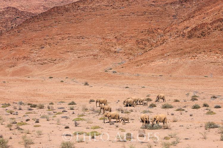 Namibia;  Namib Desert, Skeleton Coast,  desert elephant (Loxodonta africana), breeding herd crossing sparsely vegetated gravel plain