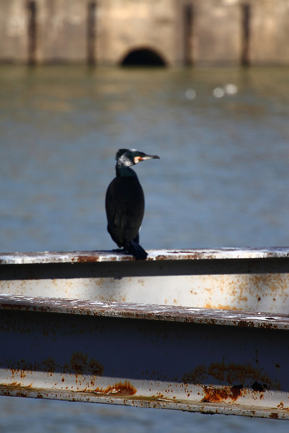 This is a member of a group of cormorants (Phalacrocorax carbo) that was used to stay along the Seine river, near the mouth of the Canal the Sain Martin, in Paris. Here it is waiting for the appearance of something to eat. Digitally Improved Photo.