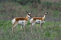 673080113 wild pronghorn antilocarpa americana graze and interact on a grassy hillside near canadian texas united states
