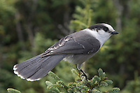 Gray Jay; Perisoreus canadensis; adult; summit Mt. Jefferson; White Mountains; NH
