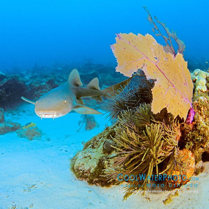 nurse shark, Ginglymostoma cirratum, swimming in coral reef, Key Largo, Florida Keys National Marine Sanctuary, Atlantic Ocean