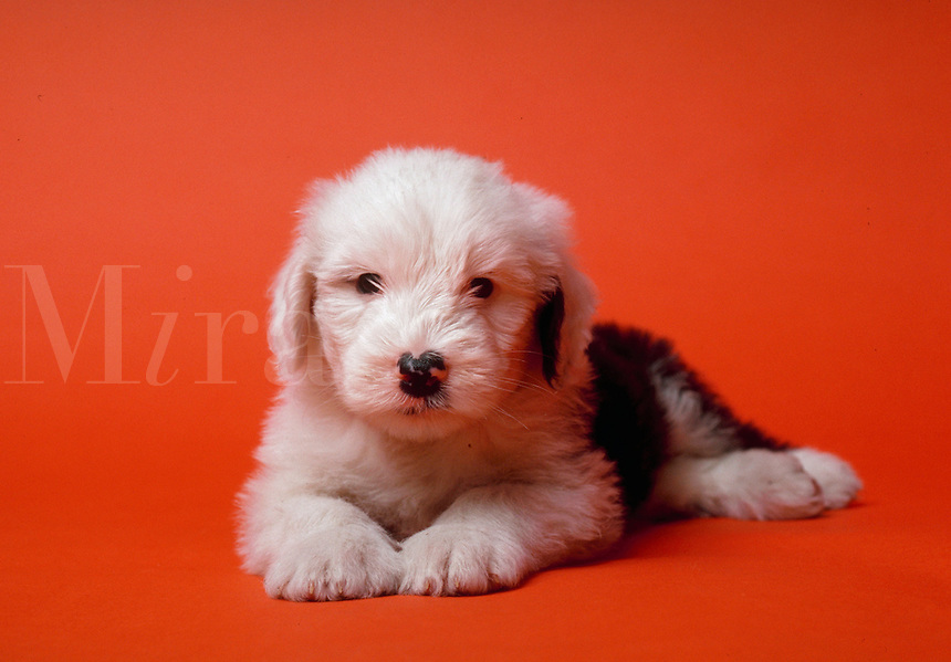 Portrait of an English sheepdog puppy.