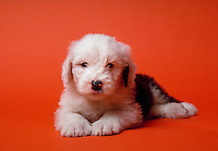 Portrait of an English sheepdog puppy.