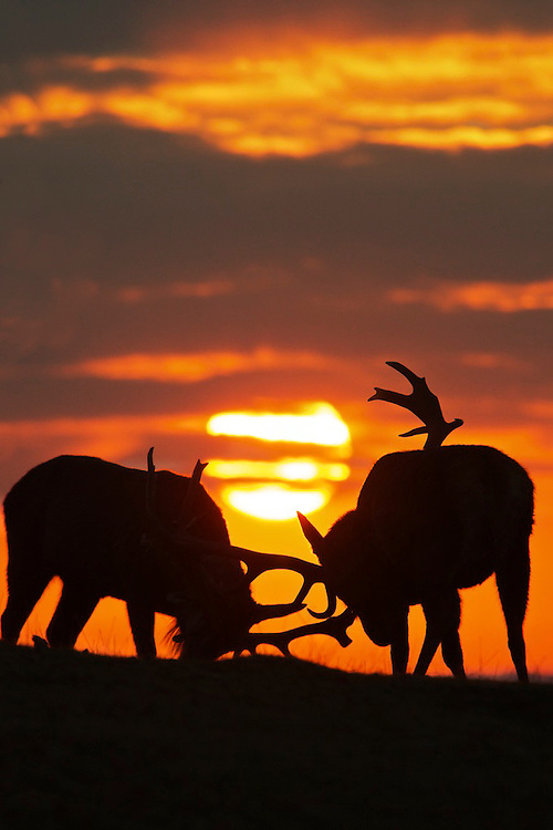 Two Red deer stag's (Cervus elaphus) rutting at sunrise in silhouette,Bedfordshire,UK