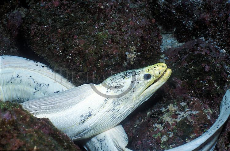 White Moray Eel .Galapagos Islands, Ecuador....