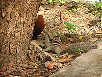 A small squirrel preparing to climb the tree