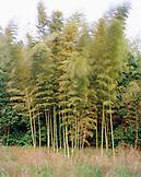 JAPAN, Kyushu, bamboo blowing in the wind, Hizen