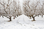 Apricot Orchard near Quincy on a frosty morning.