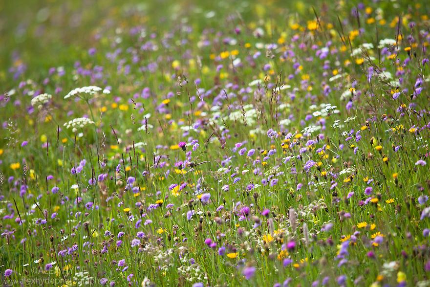 Alpine meadow including purple flowers of Small Scabious {Scabiosa columbaria}.  Nordtirol, Tirol, Austrian Alps, Austria, 1700 metres altitude, July.