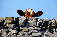 Ayrshire heifer/cow looking over dry stone wall.