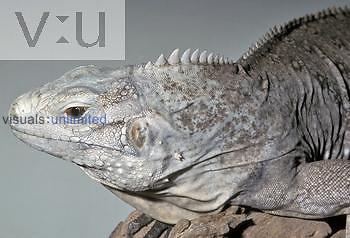 Grand Cayman Blue Iguana (Cyclura nubila lewisi), an endangered species, Grand Cayman Island.