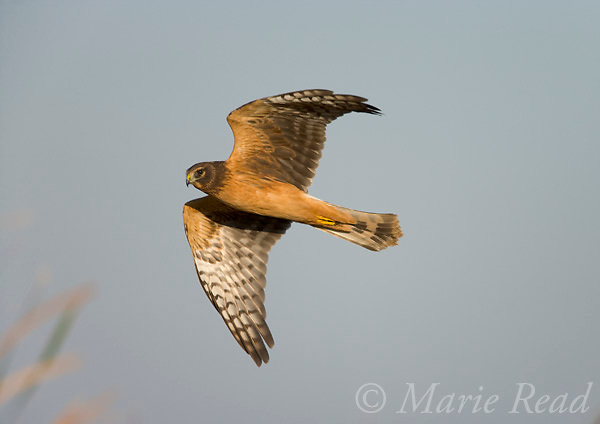 Northern Harrier (Circus cyaneus) juvenile (1st year), Montezuma National Wildlife Refuge, New York, USA