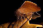 Tent Caterpillar Moth (Lasiocampidae), Tawau Hills Park, Sabah, Borneo, Malaysia