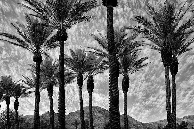 Palm trees with sunrise and Santa Rosa Mountains, California