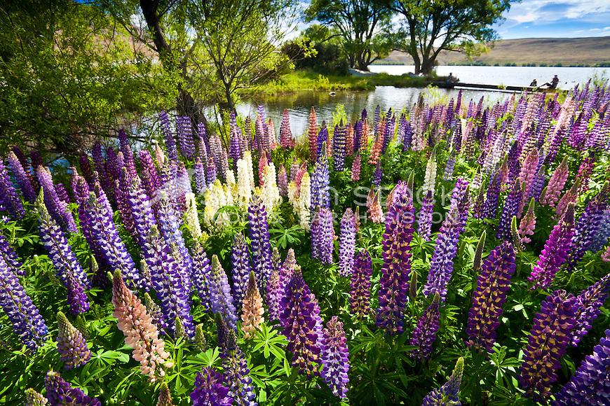 Flowering lupins, Lake Alexandrina, McKenzie Country, South Island, New Zealand