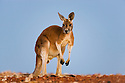 Australia,  NSW, Sturt National Park; male red kangaroo joey (Macropus rufus) at dusk; the red kangaroo population increased dramatically after the recent rains in the previous 3 years following 8 years of drought