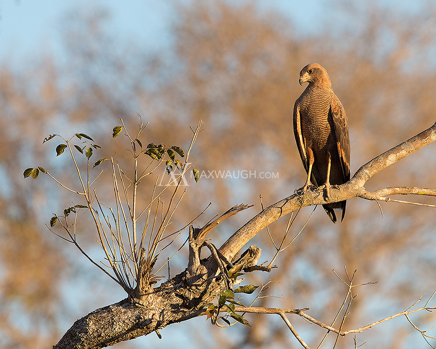 The Savanna hawk was one of many raptors seen in western Brazil.