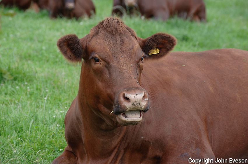 Pedigree Sussex cow.