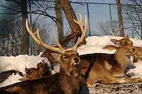 A stag at Asahiyama Zoo in freezing Hokkaido prefecture in northern Japan. The  visitor numbers have increased ten fold to 3 million in the past few years since the introdution of the parade and other interactive facilities. Only Ueno Zoo in Central Tokyo has  more visitors.  The penguins take a long walk along at ice track that takes about 30 minutes twice a day.
