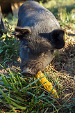 USA, Oregon, Willamette Valley, a pig chews on a corn cob at the Big Table Farms Winery, Gaston