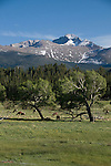 Wapiti, elk, Cervus canadensis, herd, grazing, wildlife, aspen, trees, Populus tremuloides, Longs Peak, peak, mountain, Beaver Meadows, spring, June, afternoon, Rocky Mountain National Park, Colorado, USA
