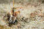 Anda, Bohol, Philippines; a mantis shrimp emerges from it's burrow in the muck