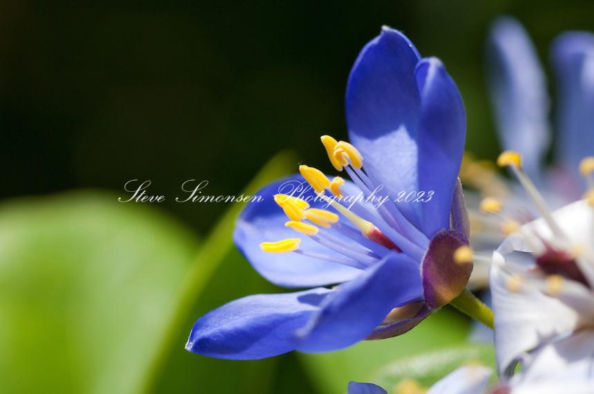 Lignum Vitae flower