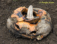 DC10-516z  Jack-o-Lantern decomposing in garden, Fungus growth on fruit.