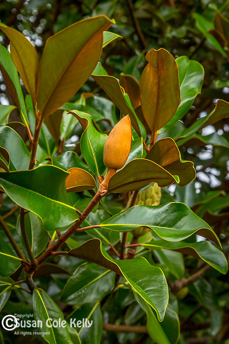 The fruit of the Magnolia Grandiflorum tree at the Arnold Arboretum, Boston, Massachusetts, USA