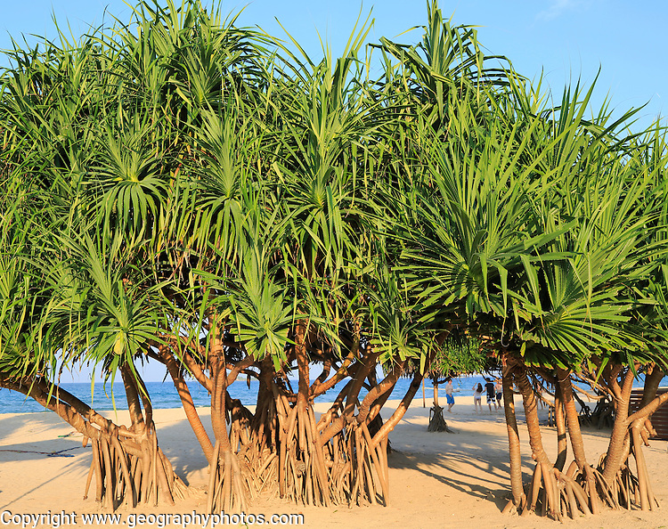 Pandanus palm trees growing on sandy beach, Nilavelli Trincomalee, Sri Lanka, Asia