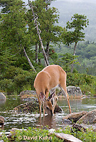 0623-1023  Northern (Woodland) White-tailed Deer Drinking Water, Odocoileus virginianus borealis  © David Kuhn/Dwight Kuhn Photography