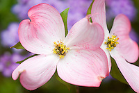 Spring-Flowering Shrubs & Bushes Stock Photos
