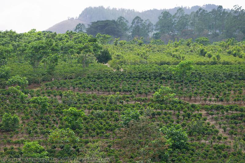 Coffe plantation, Costa Rica, Central America