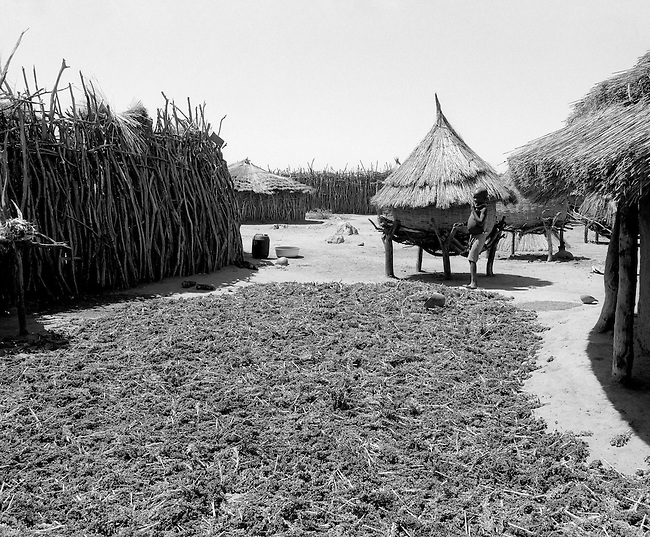Karamoja, Uganda , Africa. - sorgum harvest  and grain bins
